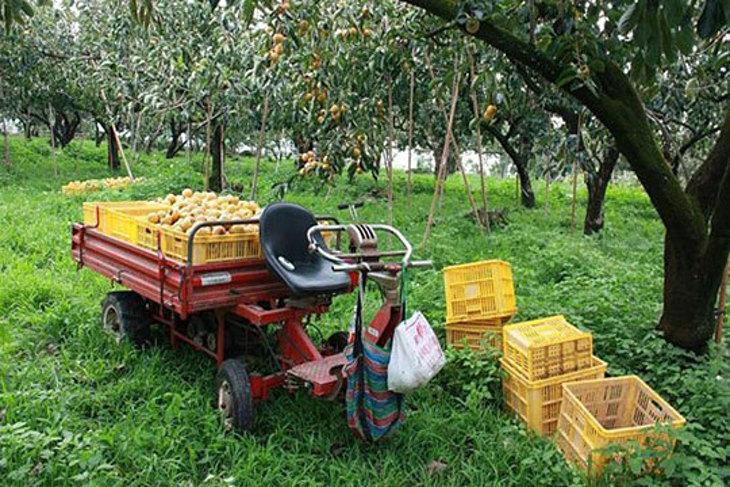 嘉義-柿子哥果園